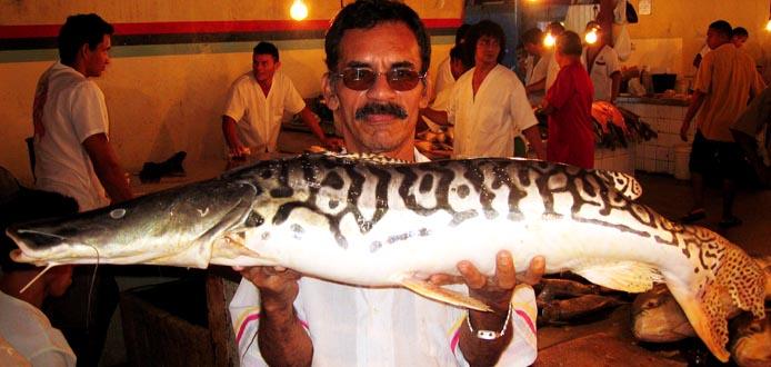 Der Surubí-Fisch oder Tigerwels