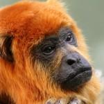 Affen aus Amazonien ohne Heimat
