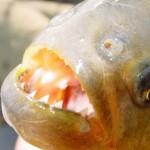 Piranhas – Menschen fressende Ungeheuer?