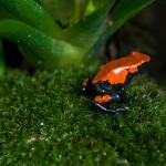 Frosch-Vielfalt Amazoniens