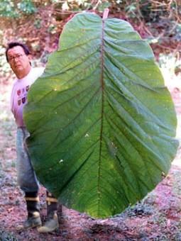 folha-gigante