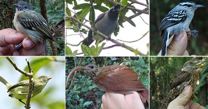 Neue Vogelarten Brasiliens