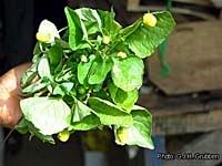 acmella-oleracea