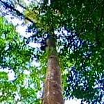 Amapazeiro – Baum von Amapá