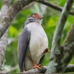 Falcão Amazônico – seltener Greifvogel Amazoniens
