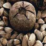 Castanheira – Baum der Para-Nüsse