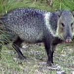 Caititu – Nabelschwein mit Halsband