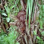 Jarina – pflanzliches Elfenbein
