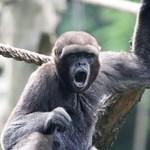 Macaco-barrigudo – der dickbauchige Affe