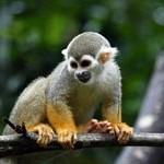 Macaco-de-cheiro – das Totenkopfäffchen
