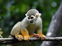 Saimiri sciureus - Squirrel Monkey perched on branch