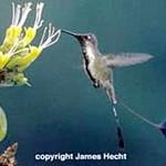 Mirabilis – Kolibri auf der roten Liste