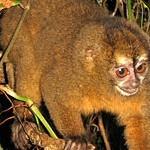 Macaco-da-noite – der nachtaktive Affe