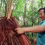 Piaçabeiros – die Palmenernter