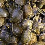 Quelônios – gefährdete Schildkröten
