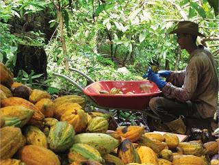imaflora-cacao