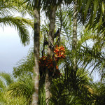 Kultivierung von Pupunha-Palme ist Perus Indios zu verdanken