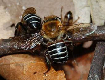 abelha-urucu-reproducao