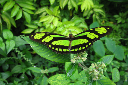 Philaethria dido, Regenwald Amazonas - Brasilien