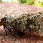 """Die """"Schlangen-Zikade"""" – ein Insekt mit tödlichem Gift. Tatsache oder Aberglaube?"""