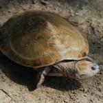 Amazonas-Schildkröten wandern bis zu hundert Kilometer