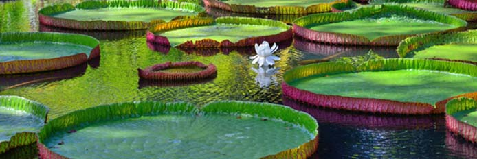 Giant amazonian lily in water at the Pamplemousess botanical Gardens in Mauritius. Victoria amazonica, Victoria regia