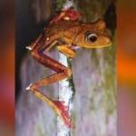 Internationales Forschungsteam entdeckt neue Froschart im Amazonas-Regenwald