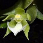 Neue Orchideen-Arten in Amazonien entdeckt