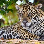 Jaguare auf Bäumen beobachten und damit deren Lebensraum schützen