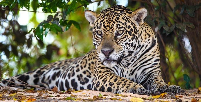 Onça pintado (Gefleckter Jaguar) - Foto: Alaor Filho/Fotos Publicas