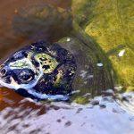 Peru setzt 37.000 Jungschildkröten an Amazonasflüssen frei
