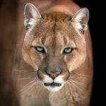 Flagranti von Pumas gibt Rätsel auf