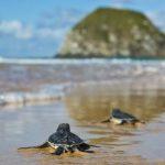 Quelônios da Amazônia: 3,5 Millionen Schildkröten Amazoniens geschlüpft