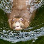 Vom Aussterben bedrohte Riesenotter siedeln sich wieder in Amazonien an