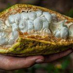 Forscher belegen: Kakao vor 5.300 Jahren im Amazonas-Regenwald Ecuadors kultiviert