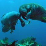 Brasilien verabschiedet Plan zum Schutz von Peixe-boi, Otter und Flussdelfin