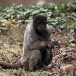 Rodungen bedrohen gefährdete Affenart
