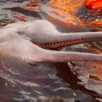 Amazoniens Flussdelfine mit Quecksilber belastet