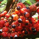 Legendäre Guaranápflanzen beheimaten aufputschende Mikroorganismen
