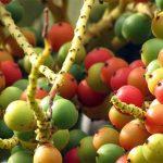 Forscher entdecken Amazonas-Frucht mit außerordentlichem Nährwert