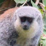 Forscher entdecken im Amazonas-Regenwald Affen mit weißem Bart
