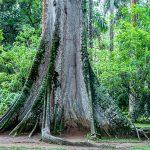 Neue Expedition zu Urwald-Giganten Amazoniens geplant