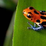 Biologen ehren Indio-Volk mit neu entdeckter Pfeiffroschart