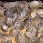 Millionen Süßwasserschildkröten schlüpfen am Ufer des Rio Guaporé