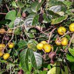 """""""Gelbe Guaraná"""" im Osten des Amazonas-Regenwaldes erstaunt Forscher"""