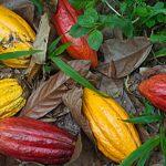 Brasilien, Kolumbien und Peru wollen mit neuer Kakaomarke Regenwald schützen