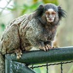 Kleine Sagui-Affenart im Amazonas-Regenwald entdeckt